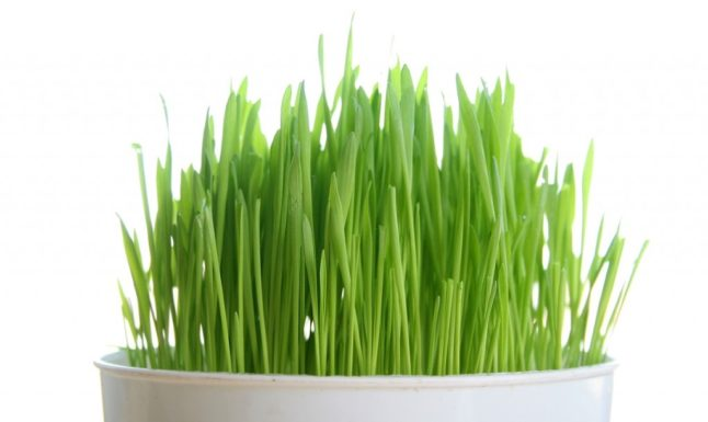 Wheatgrass-1024x682